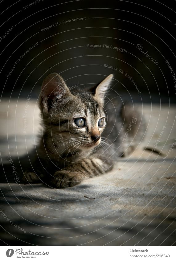 Calm Animal Gray Cat Animal face Lie Observe Natural Curiosity Listening Cute Watchfulness Attentive Baby animal Cat eyes Tiger skin pattern