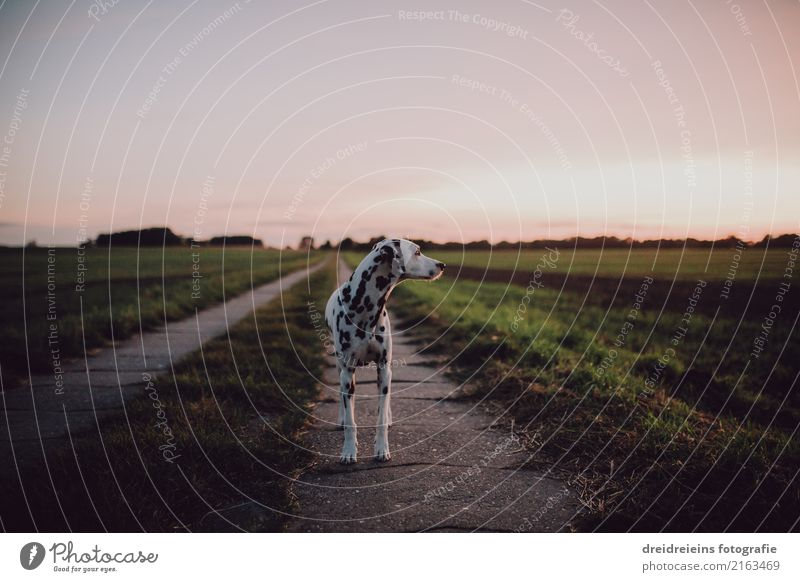 Dalmatian stands on a dirt road and watches Nature Landscape Cloudless sky Horizon Sunrise Sunset Spring Summer Autumn Beautiful weather Meadow Field Animal Pet
