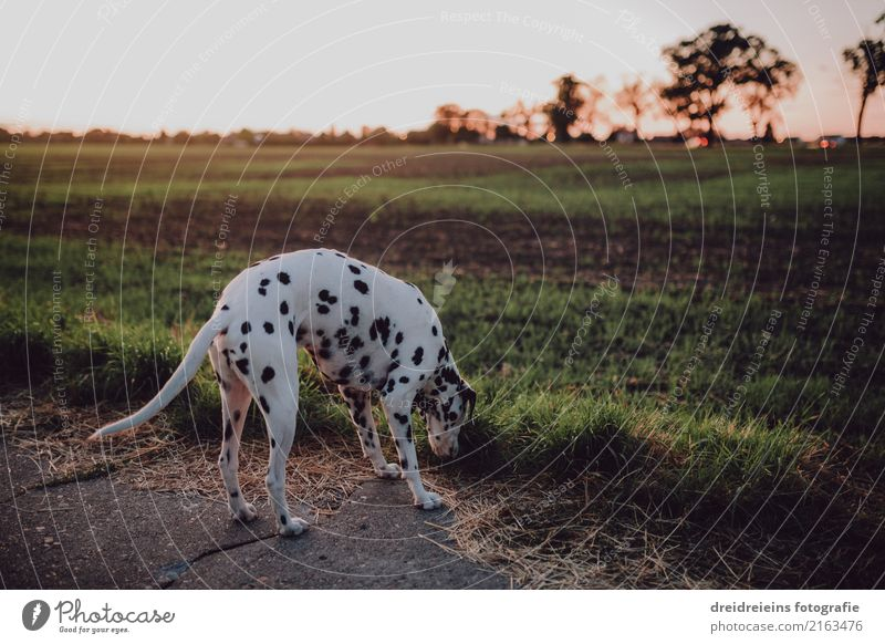 Dalmatians on the search Nature Sunrise Sunset Sunlight Spring Summer Autumn Beautiful weather Meadow Field Animal Pet Dog Curiosity Cute