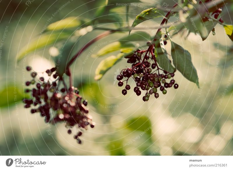 Nature Autumn Healthy Environment Fruit Fresh Sweet Growth Good Natural Mature Twig Organic produce Berries Juicy Agricultural crop
