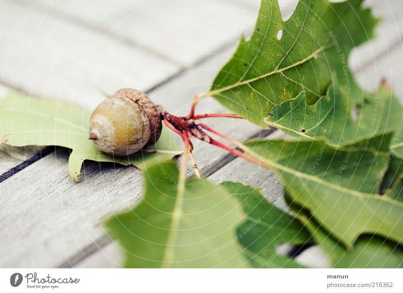Nature Beautiful Leaf Autumn Wood Bright Fruit Growth Transience Branch Seed Twig Autumnal Seed head Acorn Oak leaf