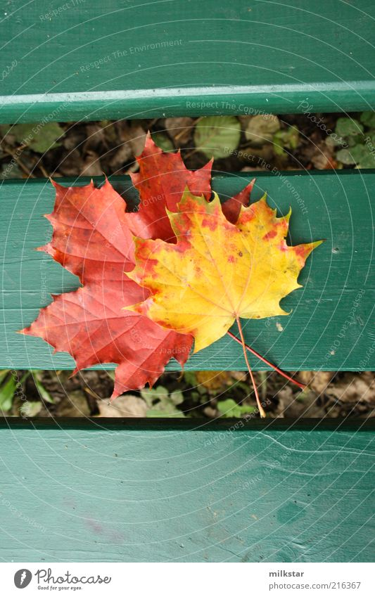 Maple on bench Harmonious Relaxation Calm Leisure and hobbies Trip Decoration Nature Plant Autumn Weather Leaf Foliage plant Maple leaf Fragrance Faded