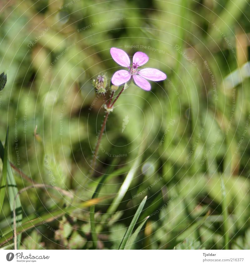 weeds don't go away Plant Blossom Wild plant Violet Pink Meadow Colour photo Exterior shot Close-up Evening Light Sunlight Deserted Blur 1 Day