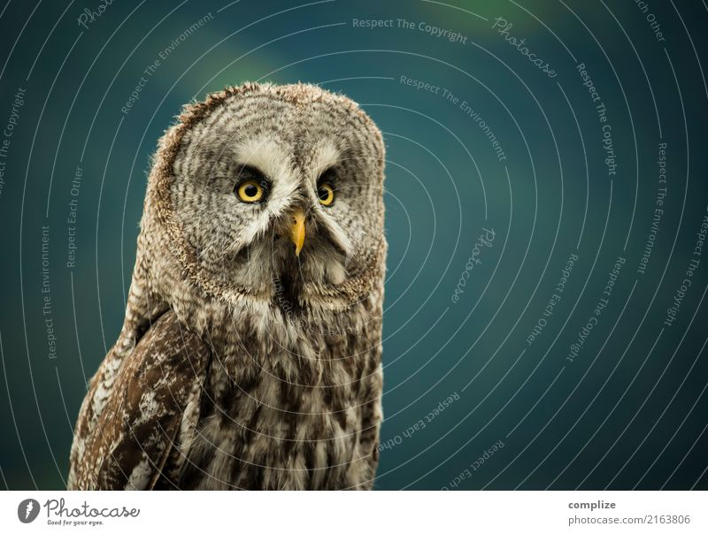 owl Vacation & Travel Tourism Night life Environment Nature Animal Climate Plant Forest Alps Mountain Bird Observe Free Owl birds Strix Animal protection