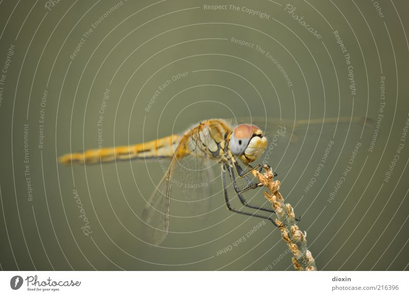 Nature Plant Animal Yellow Grass Small Sit Wing Insect Observe To hold on Blade of grass Feeler Crouch Dragonfly Light