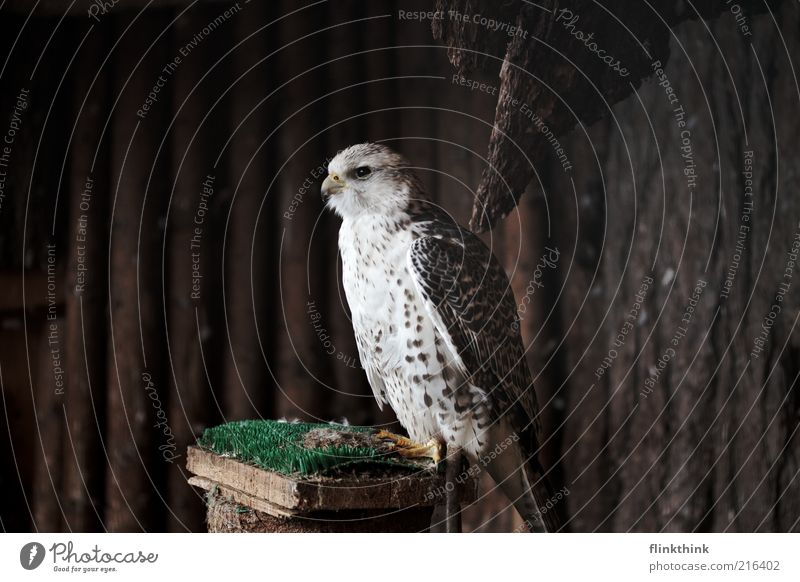 White Animal Wood Brown Wait Feather Observe Wild animal Beak Crouch Perspective Falcon Bird of prey