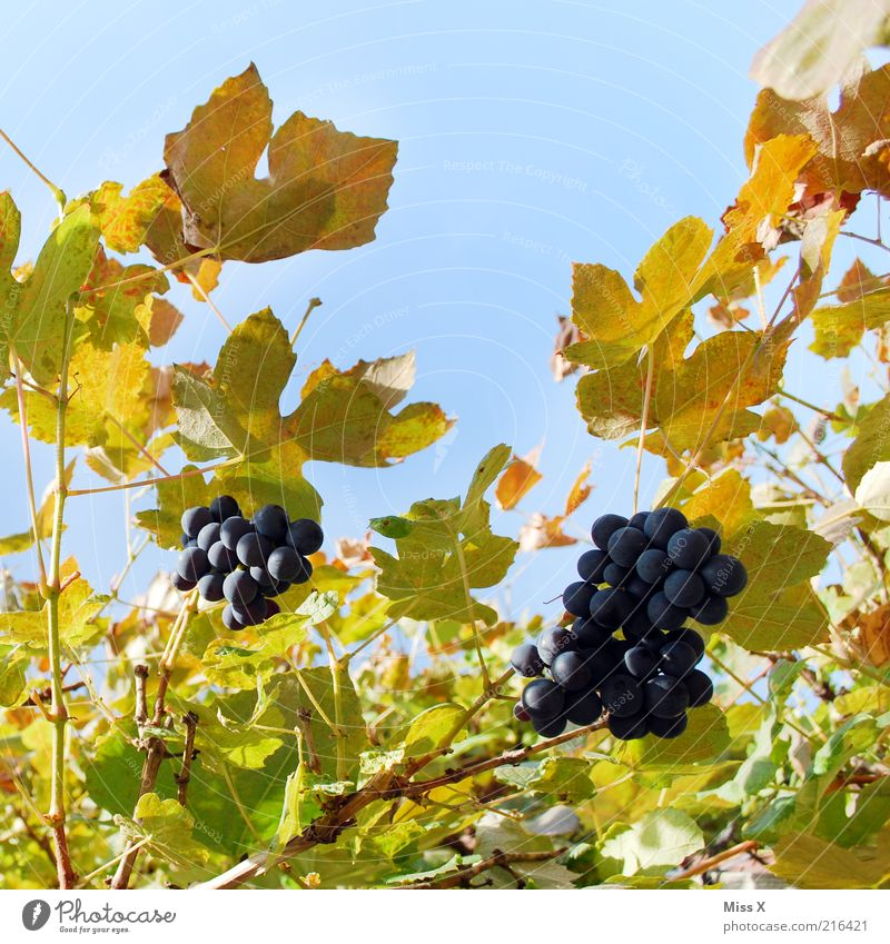Wine Food Fruit Nutrition Organic produce Nature Autumn Beautiful weather Plant Leaf Growth Fresh Delicious Juicy Sweet Vine Vineyard Wine growing