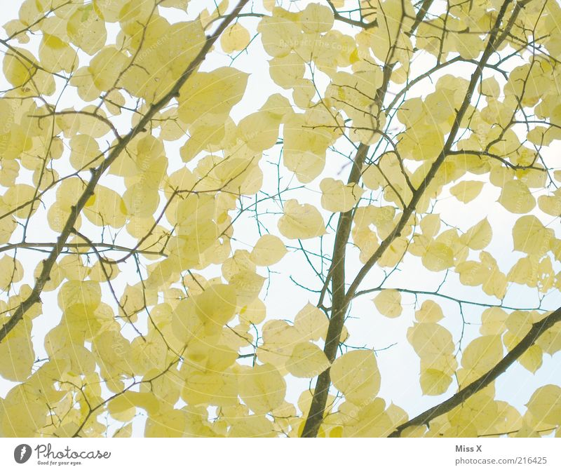 Nature Tree Leaf Yellow Autumn Beautiful weather Branch Delicate Autumn leaves Autumnal Branchage Autumnal colours Part of the plant Early fall Twigs and branches To dry up
