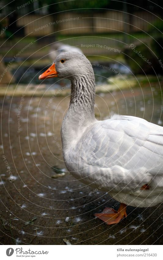 Christmas is Deadline Farm animal Zoo 1 Animal Stand Wait Natural Gray Watchfulness Animalistic Goose One-legged Patient Profile Exterior shot Animal portrait