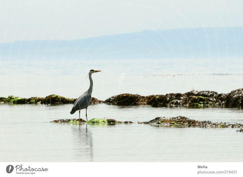 Heron, Scottish, the second Vacation & Travel Beach Ocean Environment Nature Landscape Animal Water Coast Bird Grey heron 1 Stand Free Bright Natural Blue
