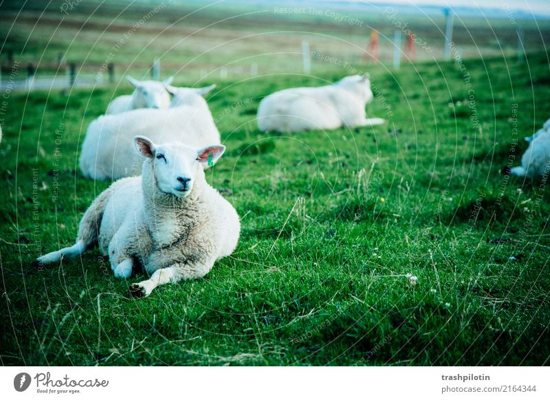 sheep Farm animal Flock Sheep 4 Animal Herd Animal family Relaxation Free Green White Contentment 2017 Holm Petra Chapel sonja mountain Colour photo
