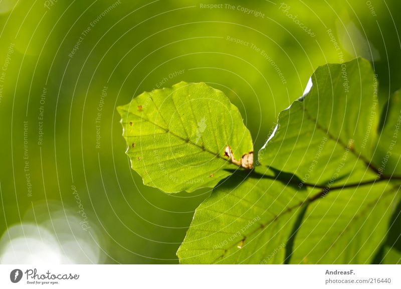 Nature Green Plant Leaf Environment Branch Illuminate Twig Environmental protection Copy Space Autumn leaves October Autumnal Beech tree Twigs and branches Flare