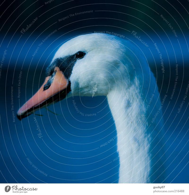 Water Beautiful White Blue Calm Animal Lake Elegant Esthetic Romance Feather Animal face Uniqueness Natural Idyll Beak