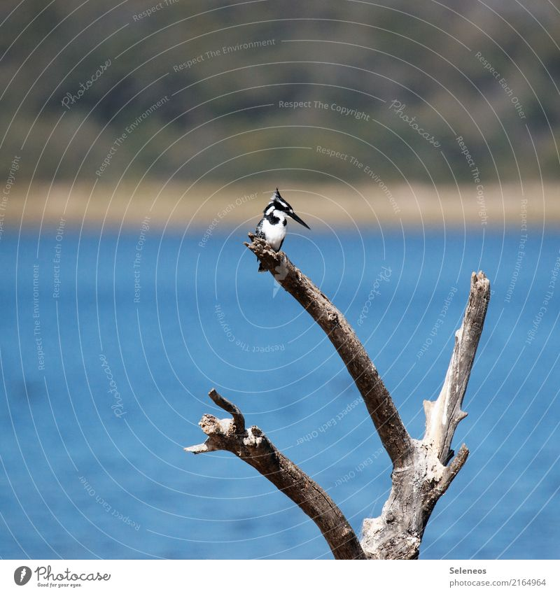 Pied Kingfisher Trip Far-off places Freedom Environment Nature Branch Log Coast Lakeside River bank Animal Wild animal Bird 1 Natural Ornithology Colour photo