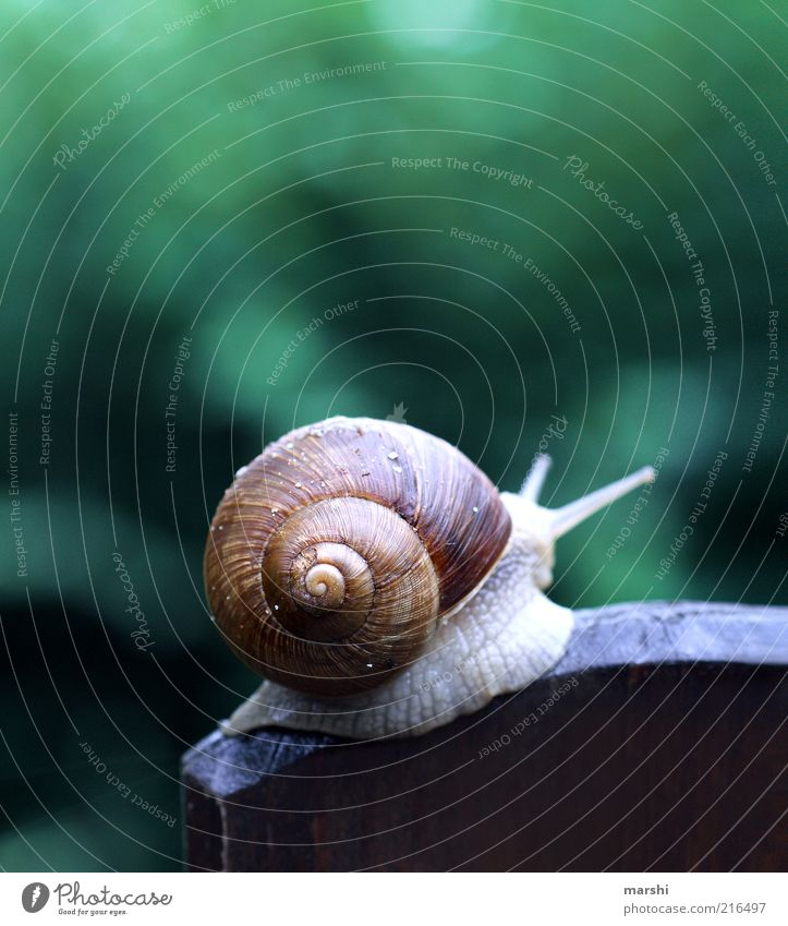 In the peace lies the strength Environment Animal Garden Snail 1 Green Vineyard snail Disgust Snail shell Feeler Blur Colour photo Exterior shot Wooden board