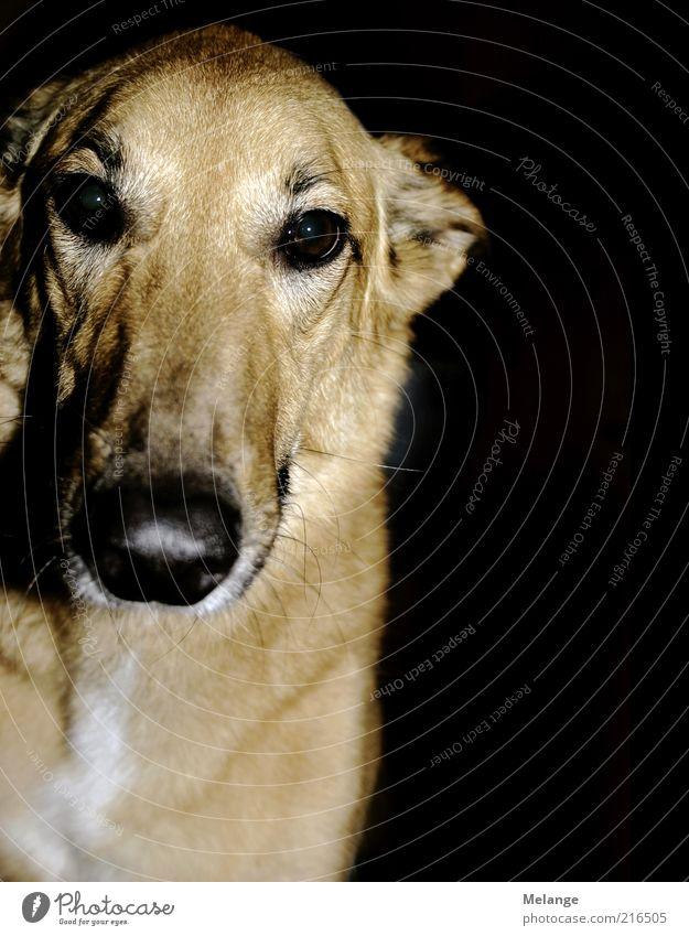 Black Animal Head Dog Brown Curiosity Pet Beige Snout Evening Light