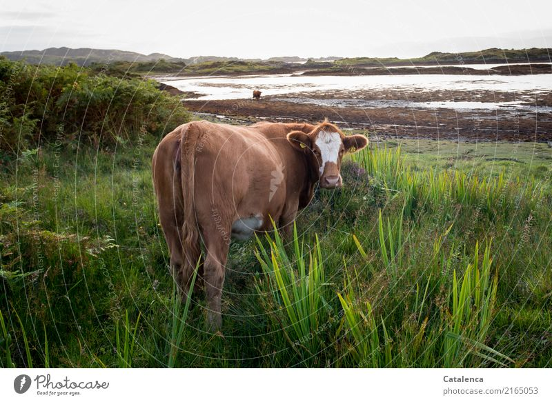 manatee Landscape Water Sky Horizon Summer Plant Grass Bushes reed Coast Bay Ocean Atlantic Ocean Low tide Cow 2 Animal Observe To feed Authentic Curiosity