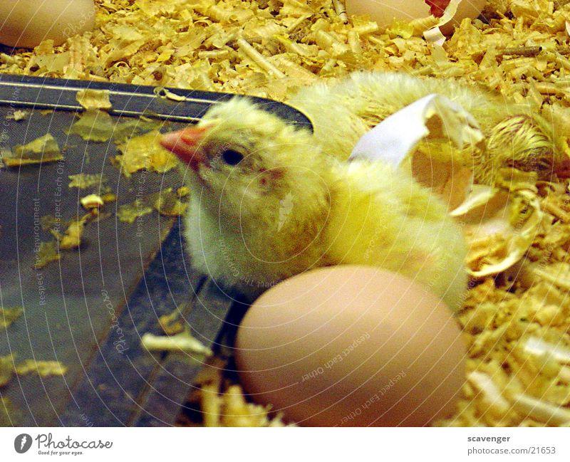 Animal Yellow Small Baby animal Lie Egg Straw Parental care Incubator