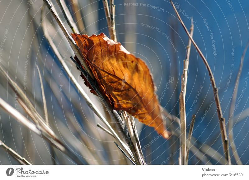 fallen and caught Nature Autumn Leaf To dry up Fresh Blue Brown Emotions Colour photo Light Shadow Blur Shriveled Autumnal Autumn leaves Branch Grass Deserted