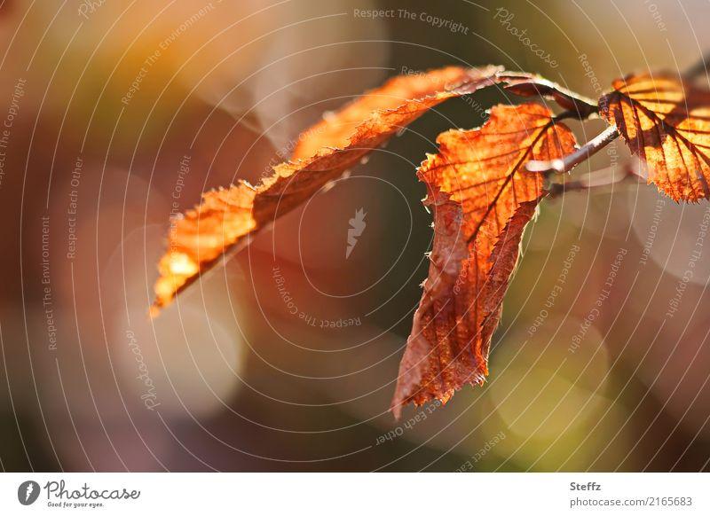 Beech leaves in autumn light Leaf Autumn leaves autumn leaves beech leaves Autumnal warm autumn colours Autumnal colours Autumn feeling autumn impression