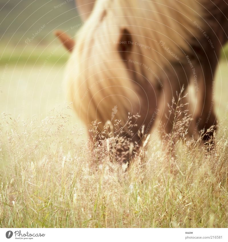 Nature Beautiful Animal Meadow Grass Moody Natural Wild animal Authentic Esthetic Horse Pasture Iceland Animalistic To feed Pony