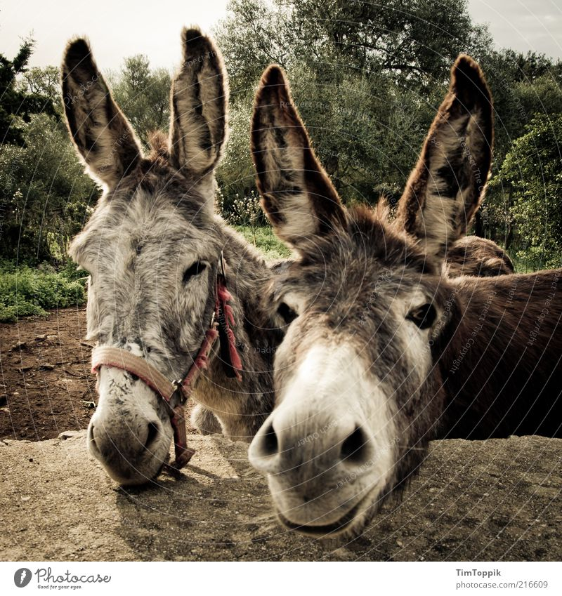Nature Beautiful Animal Funny Brown Together Pair of animals Cute Ear Animal face Curiosity Harmonious Environmental protection Farm animal Match Donkey