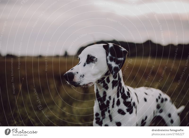 Adventure of a Dalmatian Nature Landscape Park Meadow Field Animal Pet Dog 1 Looking Stand Curiosity Interest Discover Resolve Watchfulness