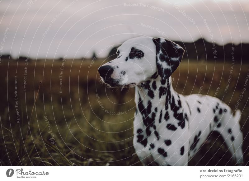 Dalmatians in a wide corridor Lifestyle Style Nature Landscape Spring Summer Autumn Park Meadow Field Animal Dog Observe Looking Stand Esthetic Beautiful Cute