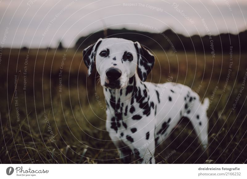 Adventure of a Dalmatian Environment Nature Landscape Park Meadow Field Animal Pet Dog 1 Looking Stand Natural Curiosity Cute Loyal Interest Hope Belief