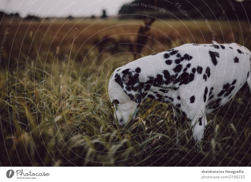 Adventure of a Dalmatian Environment Nature Landscape Meadow Animal Pet Dog 1 Discover Curiosity Interest Search Odor Colour photo Exterior shot Copy Space left