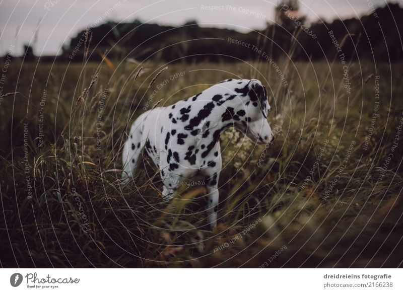 Adventure of a Dalmatian Environment Nature Landscape Meadow Animal Pet Dog 1 Looking Stand Curiosity Cute Interest Discover Life Search Watchfulness