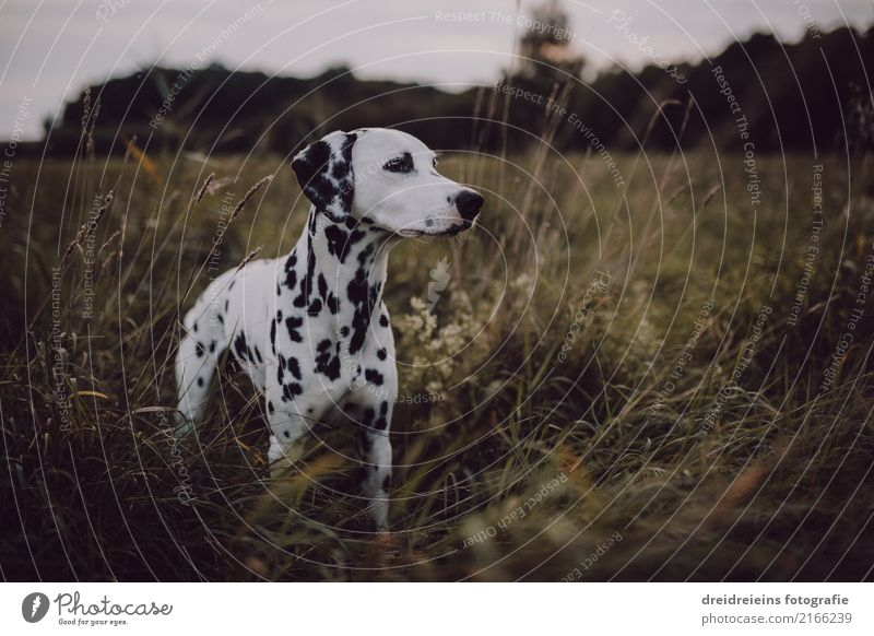 Adventure of a Dalmatian Nature Landscape Meadow Animal Pet Dog 1 Discover Stand Curiosity Cute Joie de vivre (Vitality) Life Happiness Watchfulness