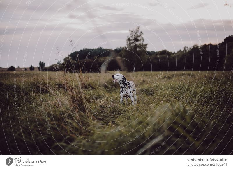 Adventure of a Dalmatian Nature Landscape Meadow Animal Pet Dog Discover Curiosity Cute Love of nature Life Joie de vivre (Vitality) Colour photo Exterior shot
