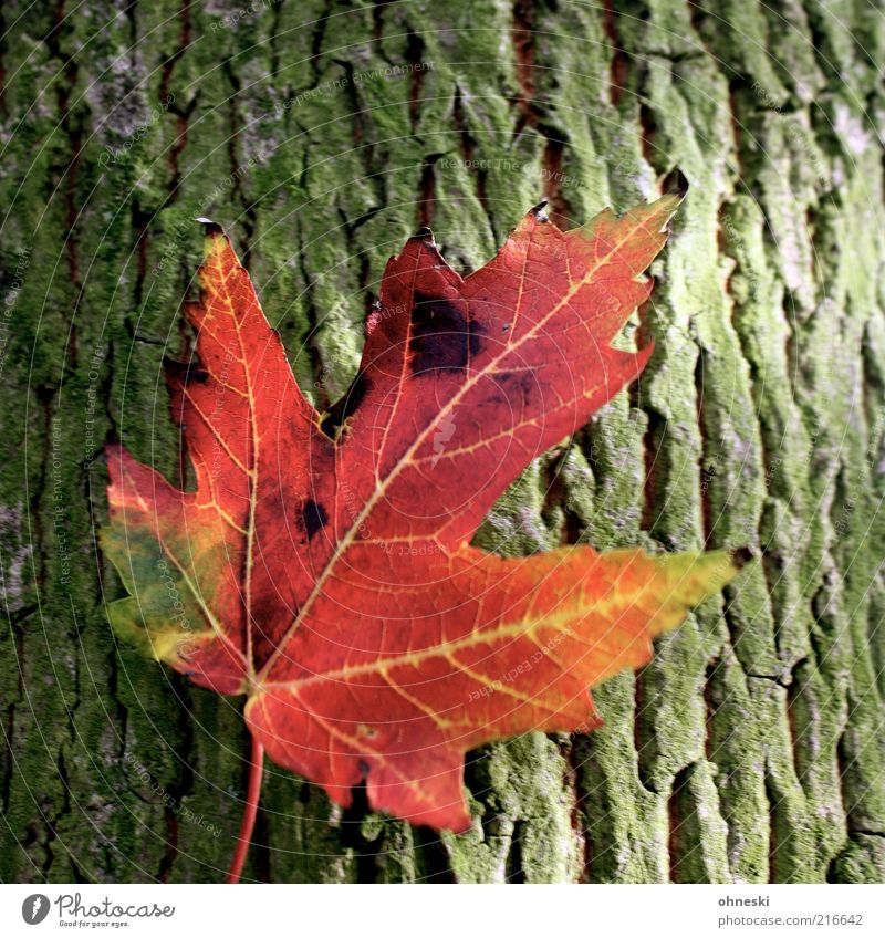 Nature Tree Green Plant Red Relaxation Autumn Orange Environment Warm-heartedness Idyll Tree trunk Tree bark Autumn leaves Maple tree Leaf