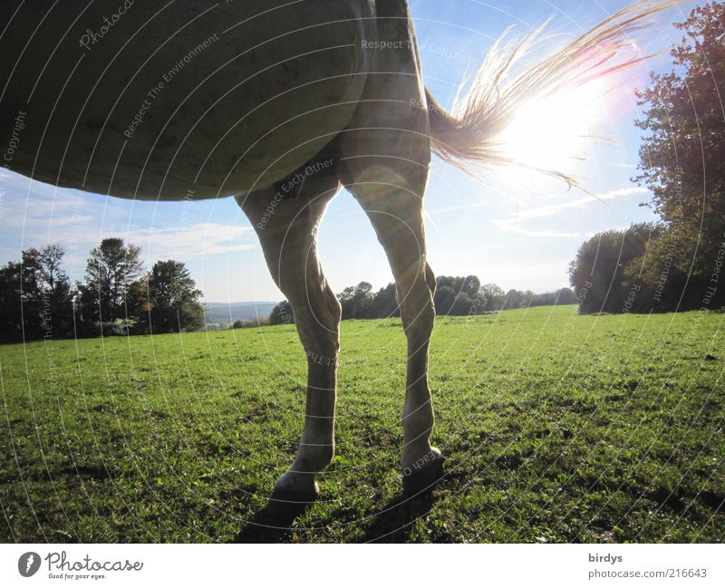 horsepower Nature Sun Sunlight Beautiful weather Grass Animal Horse 1 Stand Exceptional Natural Blue Green Power Love of animals Unwavering Movement Sunbeam