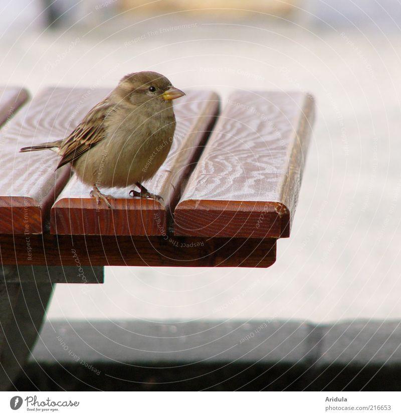 Pillnitz Sparrow Animal Bird 1 Table Wood Brash Free Curiosity Cute Round Wild Soft Brown Gray Moody Exterior shot Close-up Animal portrait Animal face