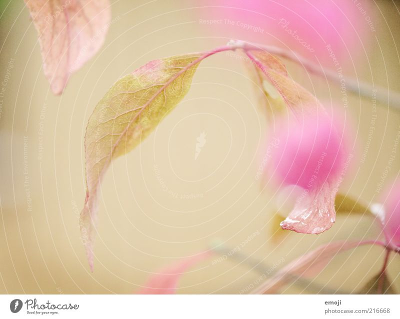 Nature Flower Plant Leaf Blossom Spring Pink Background picture Drops of water Dew Partially visible Section of image Rachis Foliage plant Water Macro (Extreme close-up)