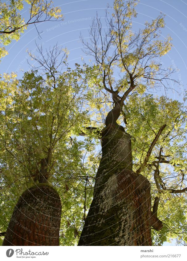 Nature Old Sky Tree Green Blue Leaf Autumn Wood Brown Large Branch Tree trunk Moss Beautiful weather Treetop