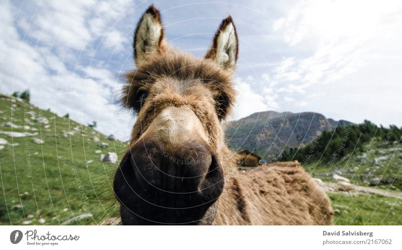 donkey Hiking Sky Beautiful weather Meadow Field Forest Hill Rock Alps Mountain Alpine pasture Mountain pasture Cow Horse Pelt Paw Dog-ear Donkey 1 Animal Brash