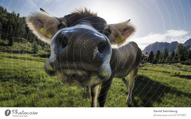 cow cow Hunting Hiking Nature Landscape Sky Sun Beautiful weather Grass Meadow Field Forest Hill Alps Mountain Peak Animal Farm animal Cow Horse Animal face