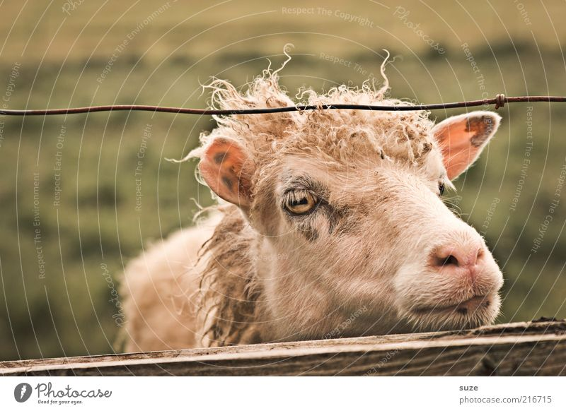 Get us out of here Nature Meadow Animal Farm animal Sheep Lamb 1 Authentic Natural Cute Boredom Fence Føroyar Wait Cattle breeding Agriculture Wool Muzzle Eyes