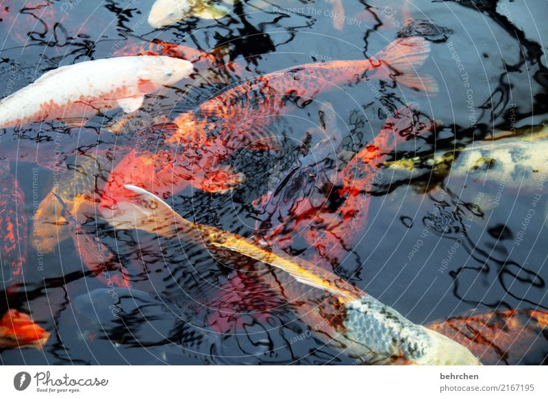 Ambiguities | fishheads Nature Animal Pond Fish Scales Koi Carp Group of animals Swimming & Bathing Exceptional Fantastic Multicoloured Orange Precious Water