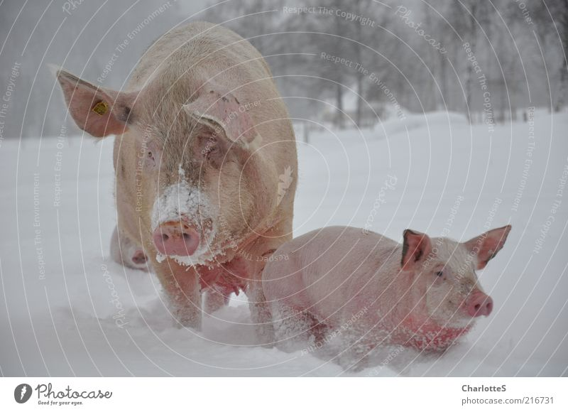 Winter Animal Cold Snow Movement Happy Baby animal Field Environment Going Pink Fog Contentment Animal face Observe Group of animals