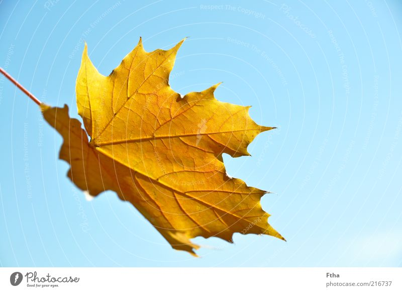 Leaf Yellow Autumn Brown Beautiful weather Blue sky Rachis Autumn leaves Autumnal Maple leaf Underside of a leaf