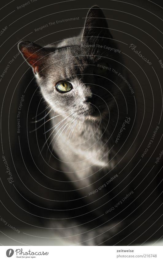 Black Animal Gray Cat Sit Animal face Observe Pelt Curiosity Cute Pet Cuddly Domestic cat Fix Whisker Cat eyes
