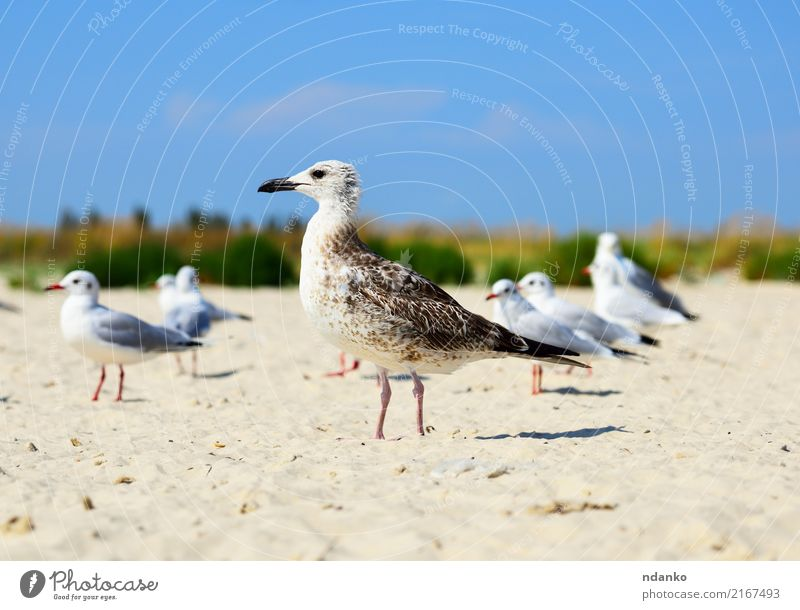 sea gull is standing on the sand Freedom Summer Sun Beach Ocean Group Nature Landscape Animal Sand Sky Coast Bird Natural Wild Blue White fly sunny Feather