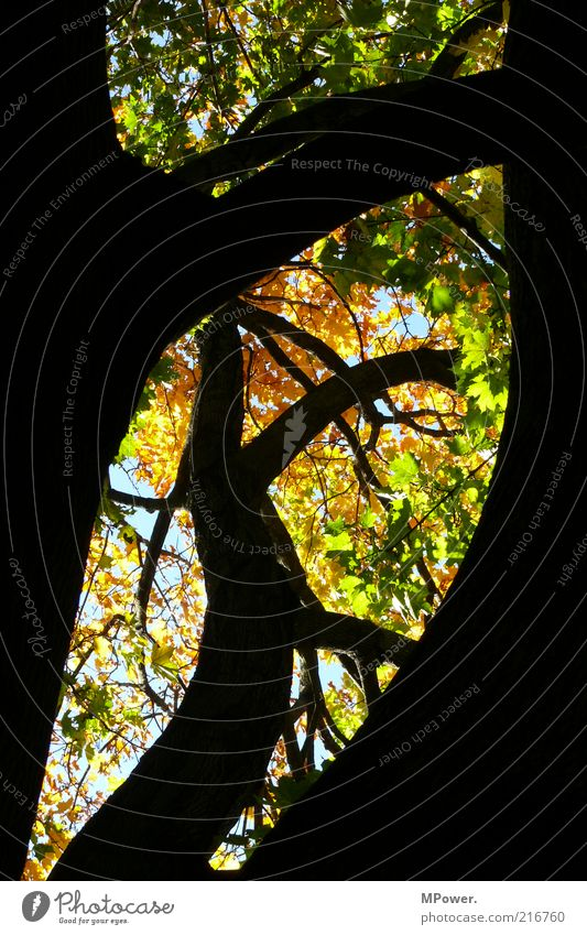 Golden October Nature Autumn Beautiful weather Tree Wood Natural Yellow Green Black Branch Tree trunk Leaf Branched Sky Silhouette Curve Above Treetop Orange
