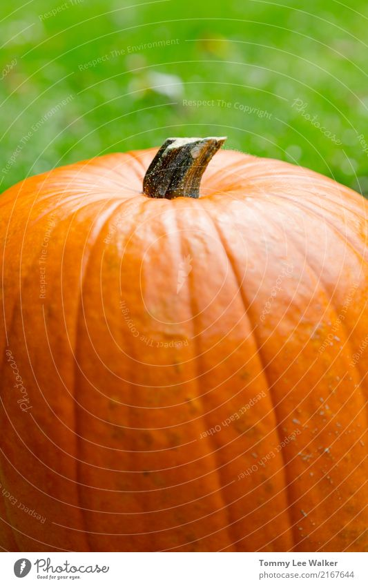 Large orange pumpkin close up Blue Green Leaf Yellow Autumn Wood Small Garden Fresh Delicious Seasons Vegetable Harvest Collection Wallpaper Vegetarian diet
