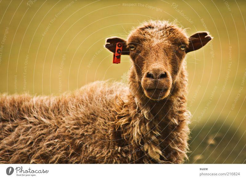 My name is Bond Animal Farm animal Animal face 1 Authentic Funny Curiosity Cute Wild Brown Føroyar Sheep Wool Livestock breeding Cattle breeding Observe