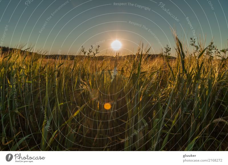 August evening. Sunset over the agricultural field Beautiful Summer Bottom Nature Landscape Plant Sky Sunrise Warmth Grass Meadow Field Dark Bright Above Dusk